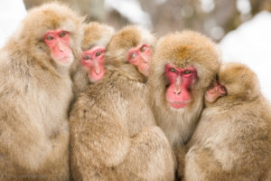 The Alpha Male Snow Monkey (Japanese Macaque) with one of his kids and a few of his harem.