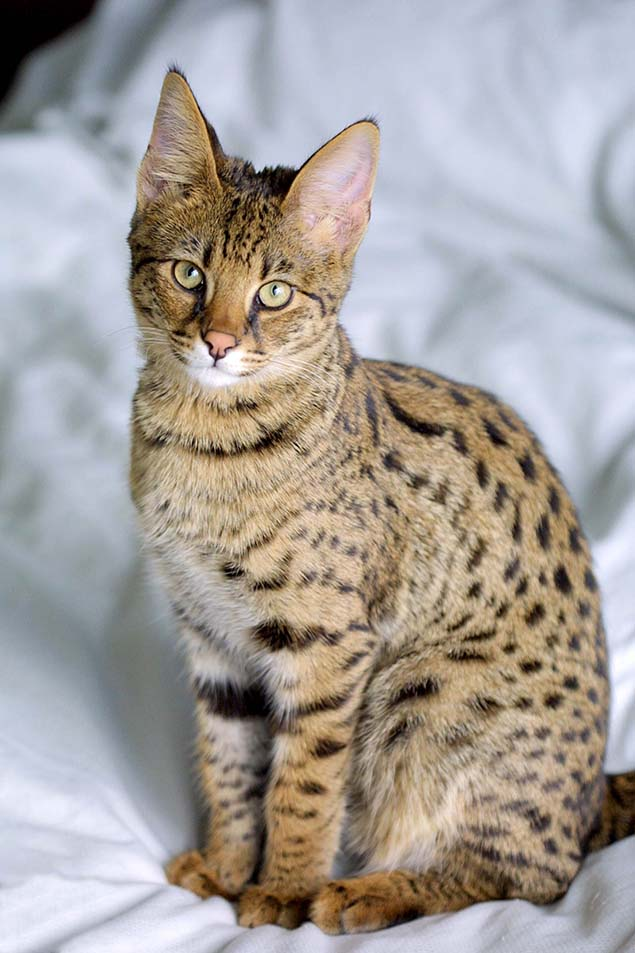 12-savannah-cat