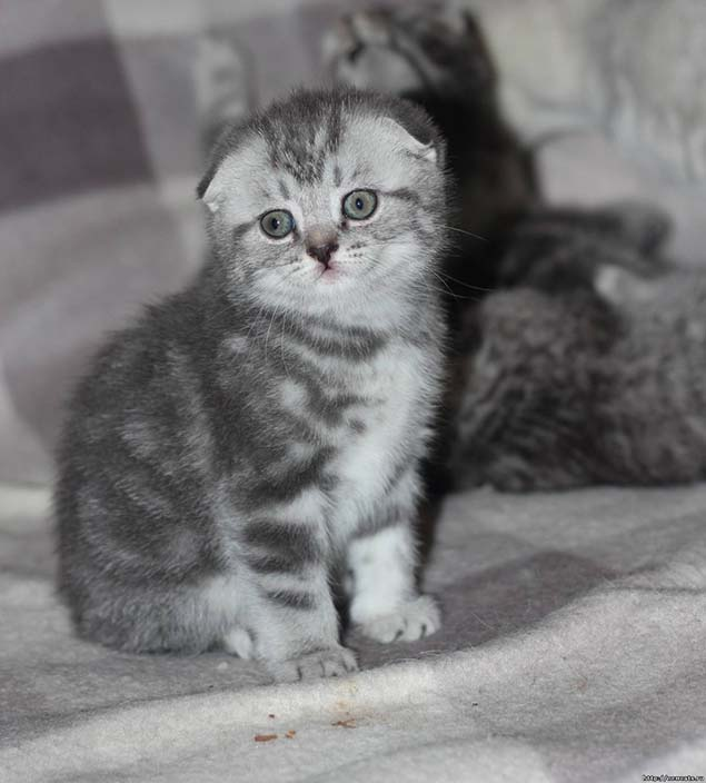 3-scottish-fold